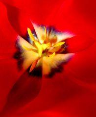 Coeur de tulipe (18/05/2013)