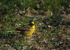 Bruant jaune (01/04/2013)