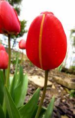 Tulipe (12/04/2012)
