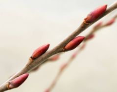 Bourgeons d'hiver (12/01/2012)