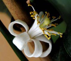 Fleur de citronnier (04/06/2012)
