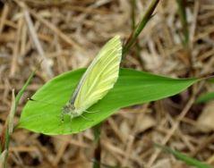 Papillon blanc (29/06/2012)
