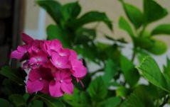 Les uniques fleurs d'Hortensia (08/07/2012)