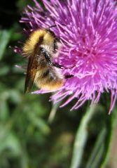 Repos de l'abeille (04/08/2012)