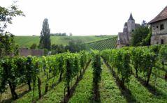 Vignes d'Alsace (12/08/2012)