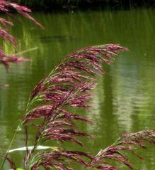 Fleurs d'eau (22/08/2012)