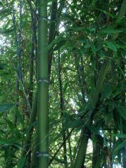 Bambou (03/09/2012)
