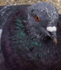 Pigeon (17/10/2012)