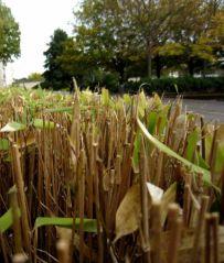 Taille de roseaux (17/10/2012)